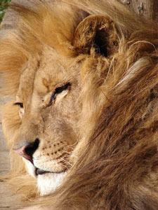 felinos león