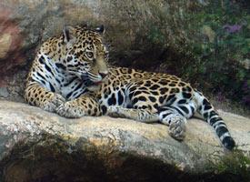 felinos tigrillo