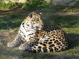características del jaguar: hábitat, información, alimentación
