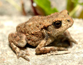 lista de animales anfibios nombres y ejemplos