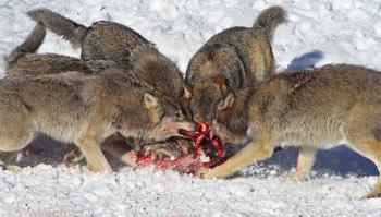 habitat de los lobos: