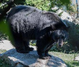 Resultado de imagen para Oso hormiguero y oso negro