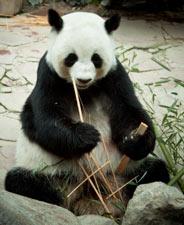 Caracter sticas del oso panda h bitat informaci n - Reproduccion del bambu ...