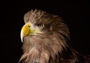 ¿Qué comen las águilas?