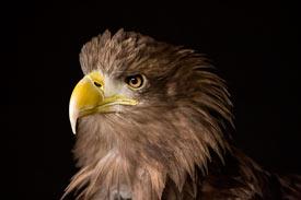 que comen las águilas